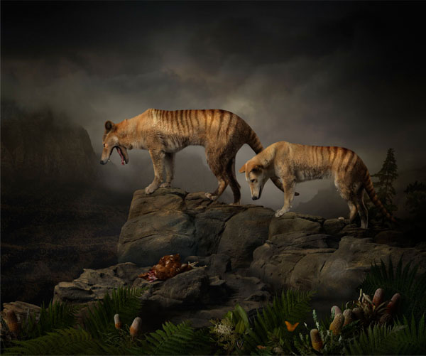 Joseph McGlennon: Thylacine Study Number 5, 2013. Giclee print on archival Hahnemuhle Fine Art Paper. Photographed on location in Van Dieman's Land  100.0 x 120.0 cm